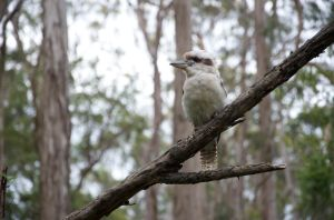 Kookaburra, Queen Mary Falls, Killarney