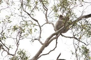 Queen Mary Falls Caravan Park - koala