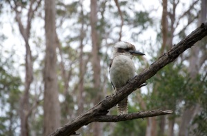 Queen Mary Falls - kookaburra