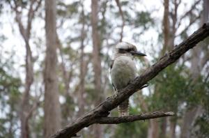 Queen Mary Falls - kookaburra