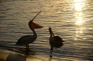 Campervan Converts - Noosa pelicans